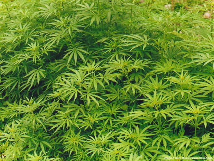 Мужчина из Липецкого района наладил производство и продажу марихуаны
